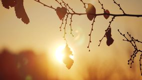 Branche d'arbre sèche d'automne au paysage de lumière du soleil de silhouette de coucher du soleil Foyer très peu profond d'orme  clips vidéos