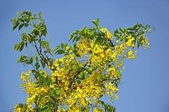 Branche d'arbre d'or se développante de fleur de douche Photos libres de droits