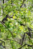 Branche d'arbre verte avec des bourgeons Images stock