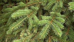 Branche d'arbre verte de sapin se d?pla?ant la brise de vent l?ger clips vidéos