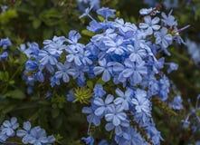 Branche d'auriculata de floraison de plumbago, belles fleurs bleues Images libres de droits