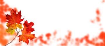 Branche d'automne d'arbre d'érable du Canada d'isolement sur le blanc photos libres de droits