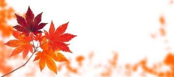 Branche d'automne d'arbre d'érable japonais sur le blanc photos libres de droits