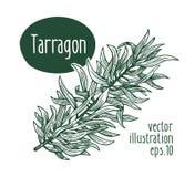 Branche d'estragon Dirigez l'illustration pour le menu, l'emballage et les recettes de conception Illustration tirée par la main  illustration libre de droits