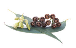 Branche d'eucalyptus Photos stock