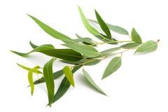 Branche d'eucalyptus Image stock