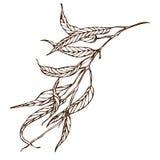 Branche d'eucalyptus de dessin de main de vecteur Photo stock