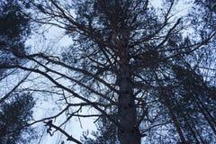 Branche d'hiver d'arbre de hêtre Photos stock