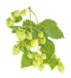 Branche d'houblon Image stock