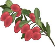 Branche d'icône d'isolement par berbéris illustration de vecteur