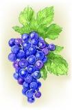 Branche d'illustration d'aquarelle d'aspiration de raisins illustration de vecteur