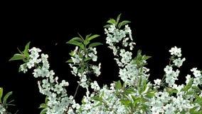 Branche d'isolement de cerisier avec les fleurs blanches banque de vidéos