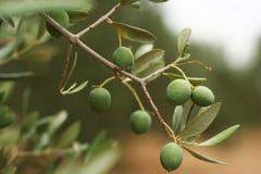 Branche d'olivier photo stock