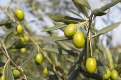 Branche d'olivier Image libre de droits