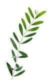 Branche d'olivier Photos libres de droits