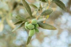 Branche d'olivier avec les olives vertes Photos stock