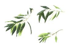 Branche d'olivier d'isolement sur le fond blanc avec des olives Photos stock