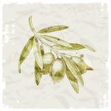 Branche d'olivier tirée par la main Photo stock