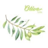 Branche d'olivier verte d'aquarelle Photo stock
