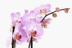 Branche d'orchidée de Phalaenopsis d'isolement Photographie stock