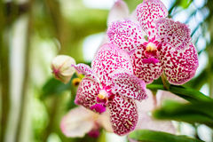 Branche d'orchidée de tigre comme florale Photos stock