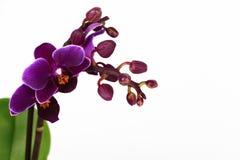 Branche d'orchidée de Violet Phalaenopsis d'isolement Photographie stock libre de droits