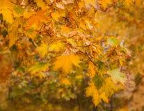 Branche d'érable avec les feuilles jaunes Images libres de droits