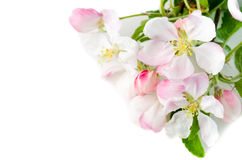 Branche d'un Apple-arbre de floraison sur un fond blanc, fin-u Photographie stock