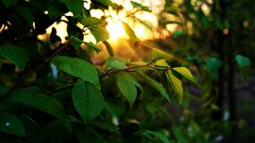 Branche d'un arbre au coucher du soleil photos libres de droits