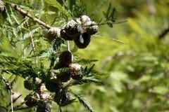 Branche d'un arbre avec des cônes Photos stock