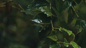 branche d'un arbre avec des feuilles pendant une pluie tropicale se renversante lourde à la jungle de forêt tropicale photographie stock