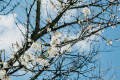 Branche d'un arbre avec les fleurs blanches contre le ciel bleu image stock