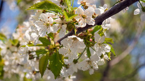 Branche d'un arbre ce fleurs gentilles images libres de droits