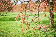 Branche d'un cerisier avec les fleurs roses commen?ant ? fleurir image libre de droits