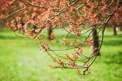 Branche d'un cerisier avec les fleurs roses commen?ant ? fleurir images libres de droits