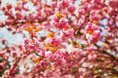 Branche d'un cerisier avec les fleurs roses en pleine floraison photos stock