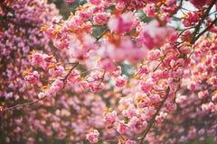 Branche d'un cerisier avec les fleurs roses en pleine floraison photos libres de droits