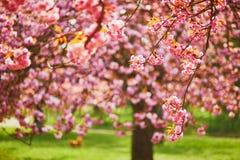Branche d'un cerisier avec les fleurs roses en pleine floraison images libres de droits