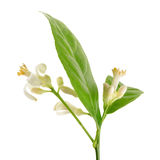 Branche d'un citronnier avec des fleurs d'isolement sur le blanc Photos stock