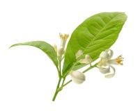 Branche d'un citronnier avec des fleurs d'isolement sur le fond blanc Photo stock