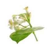 Branche d'un citronnier avec des fleurs d'isolement sur le fond blanc Images stock