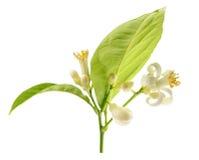 Branche d'un citronnier avec des fleurs d'isolement sur le fond blanc Image stock