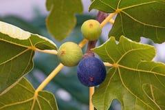 Branche d'un figuier avec des feuilles et des fruits dans diverses étapes de la maturation Photographie stock