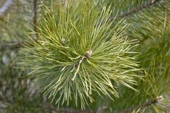 Branche d'un jeune pin Photographie stock libre de droits