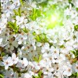 Branche d'un pommier de floraison sur le fond de jardin images libres de droits