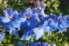 Branche d'un shpornik bleu Image stock