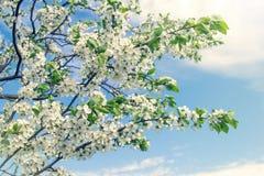 Branche d'une cerise fleurissante image stock