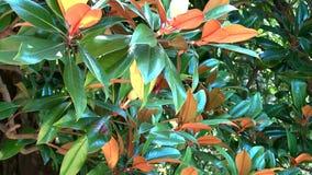 Branche d'une magnolia banque de vidéos