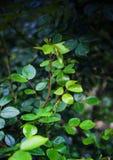 Branche d'une rose avec une odeur Photo stock