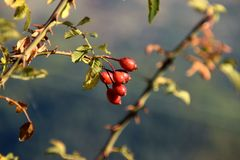 Branche d'usine rose sauvage avec les baies rouges Photographie stock